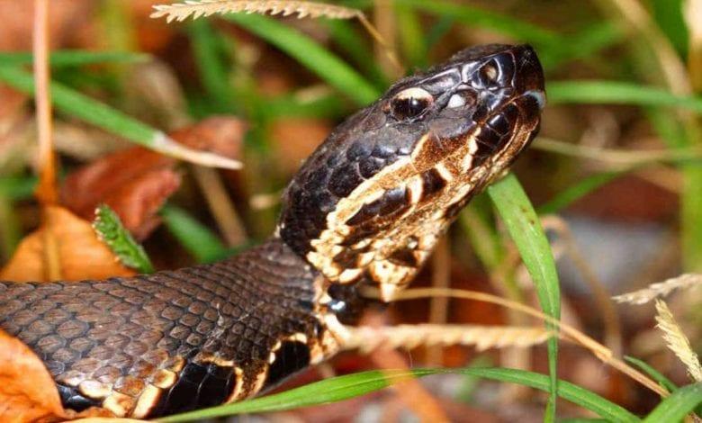 Louisiana Swamp Snakes - New Orleasn Local