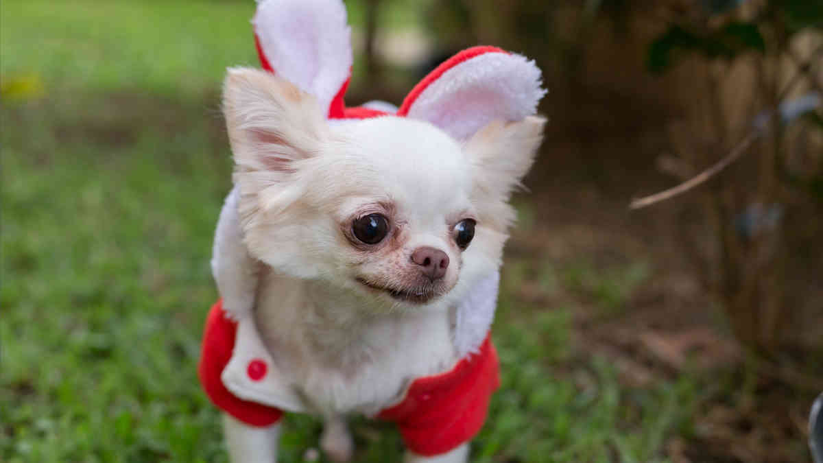 Chihuahua for Christmas - Howliday Market & Paw Parade - New Orleans Local