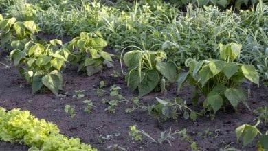 Photo of Coronavirus Quarantine Curriculum: Plant A Vegetable Garden