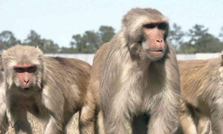 Primate Research