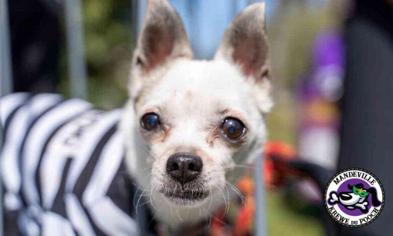 Krewe du Pooch 2021 White Chihuahua