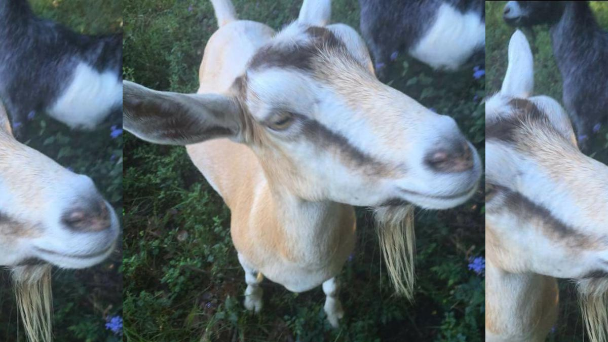 Picnic with the Goats at the Cajun Corral Farm